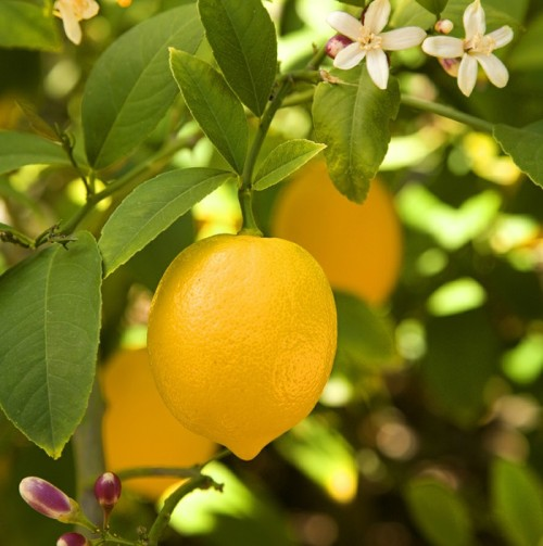 lemon-tree-outdoors-fashion-plant.jpg