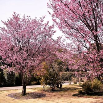 okame-cherry-tree-600x600